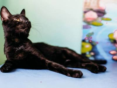 Шукає дім Аша - міні кішечка з грацією...